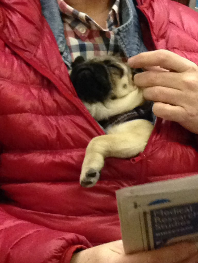 pug napping in jacket