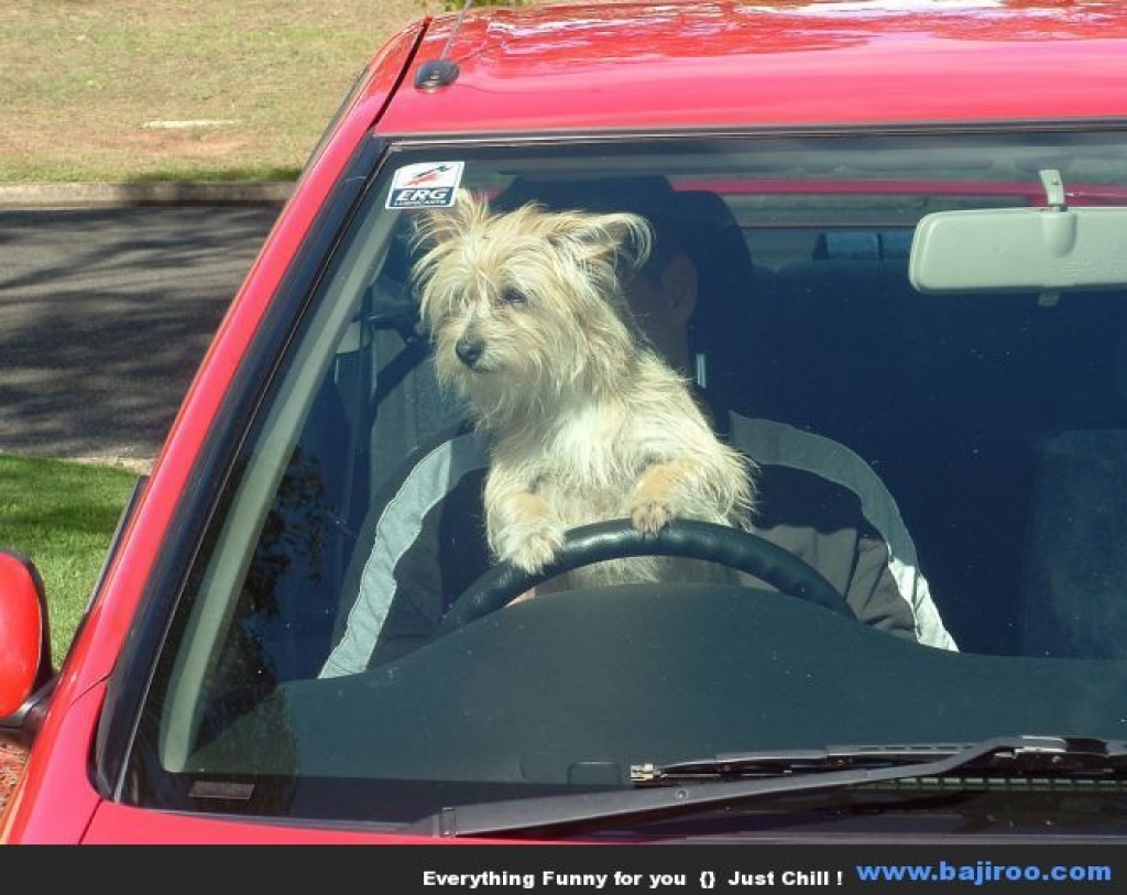 Dog sitting on a driver's lap