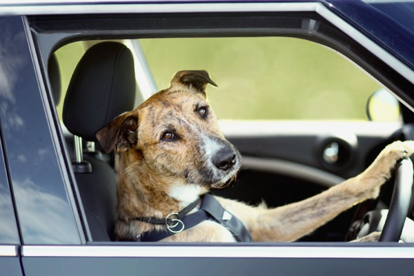 Brown dog driving car