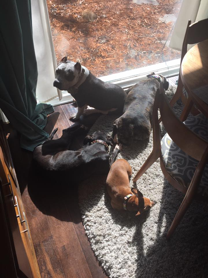 Rescue Pit Bull with his family