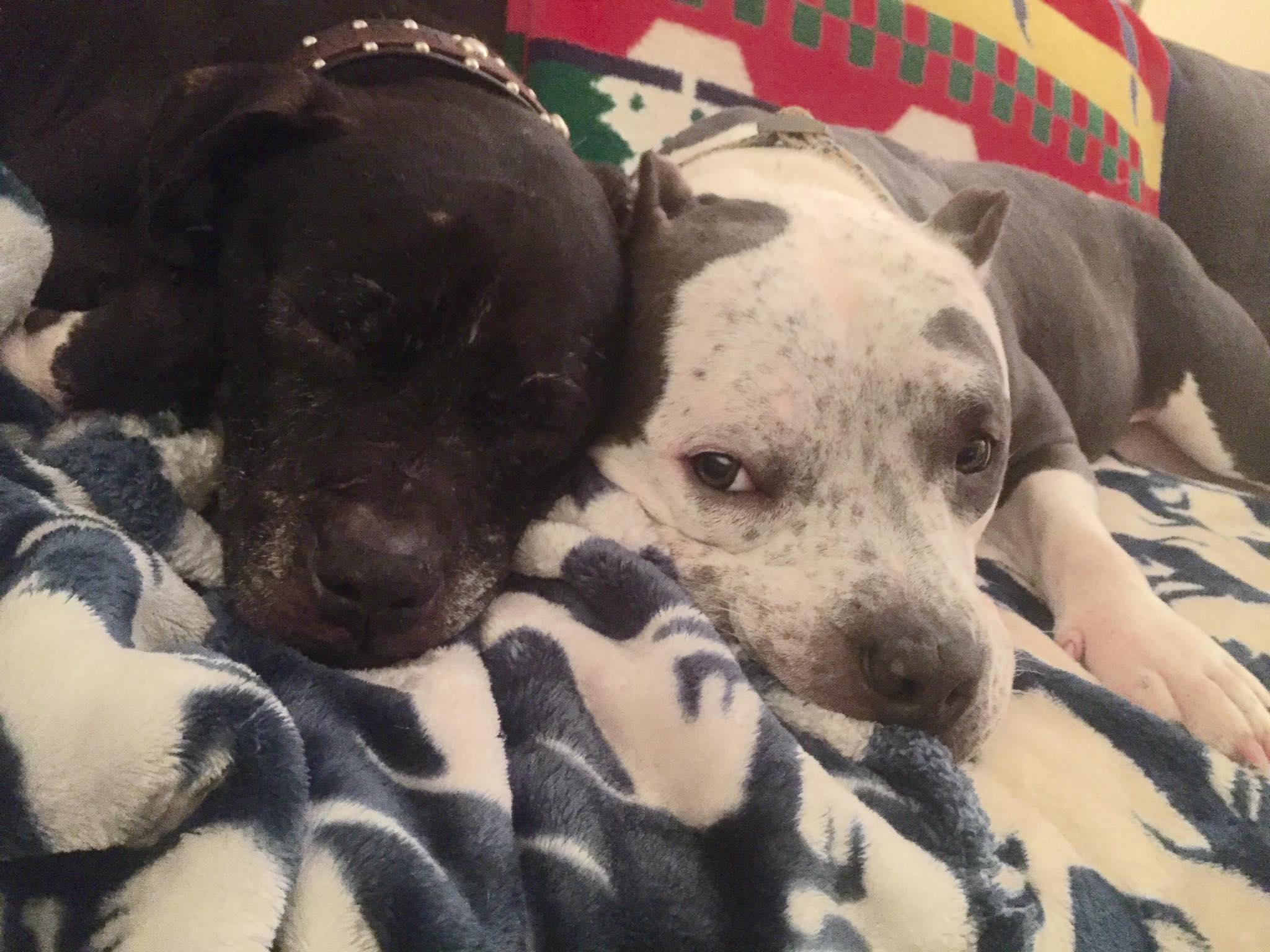 Pit Bull Evan with Ivy