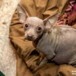 Chihuahua with mange