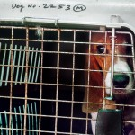Laboratory Beagles freedom
