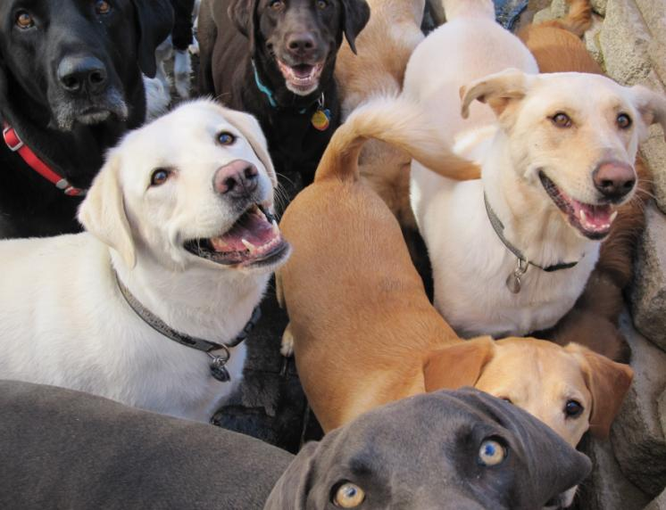 Pack of Labradors