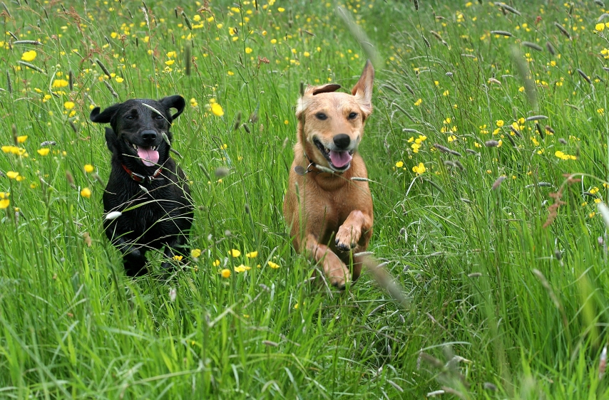 Dogs running in the grass