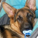 German Shepherd human baby