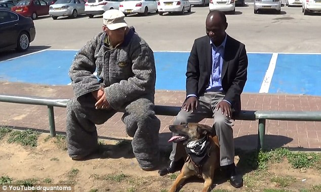 Belgian Malinois protects owner