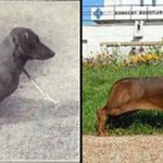 Dog breeding over 100 years