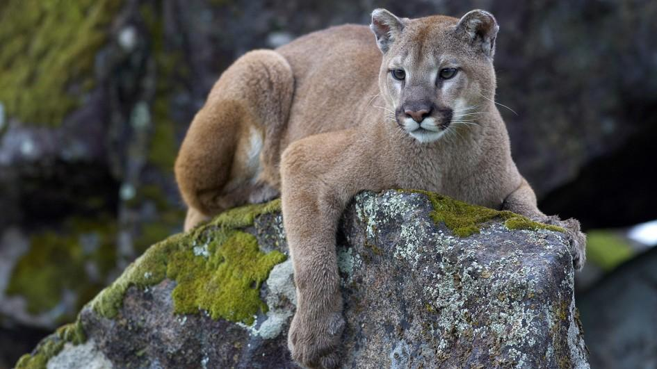 mountain-lion-on-rock.jpg.adapt.945.1