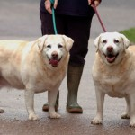 Two obese Labs