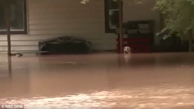 Dog rescued Texas flood