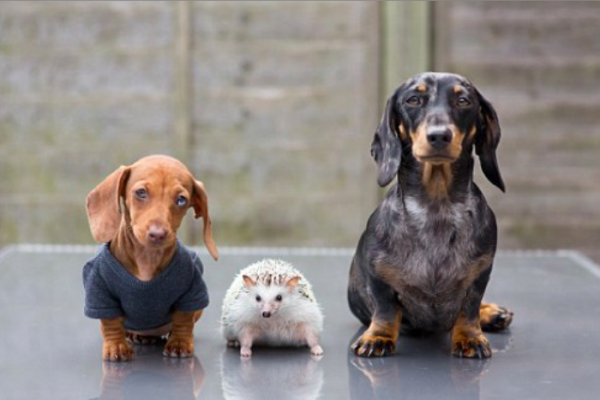 Hedgehog and Dachshund family