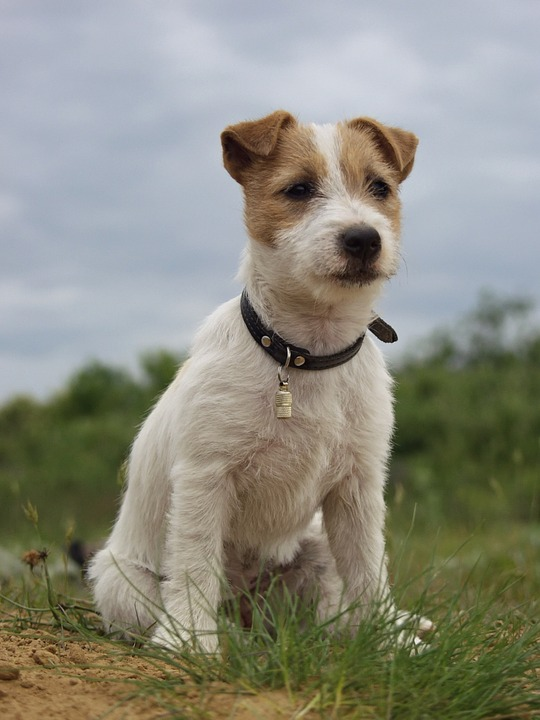 image6_Jack Russell Terrier