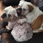 English Bulldog puppy mill