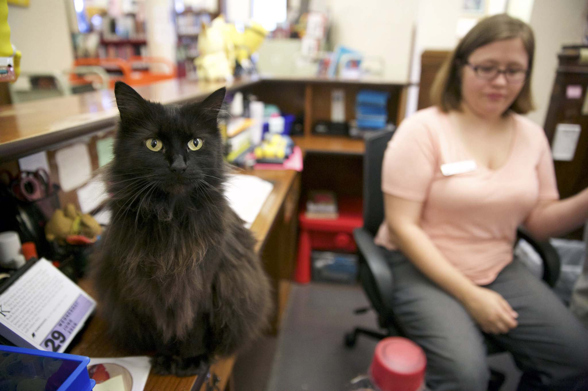 """Litchfield, Ill., Public Library has the state's last known library cat, a black long-haired """"diva"""" named Stacks, who sits on the circulation desk as clerk Sam Dagon does her work on June 29, 2016. (Steve Warmowski/Chicago Tribune/TNS)"""