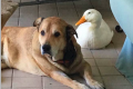 Dog and duck best friends