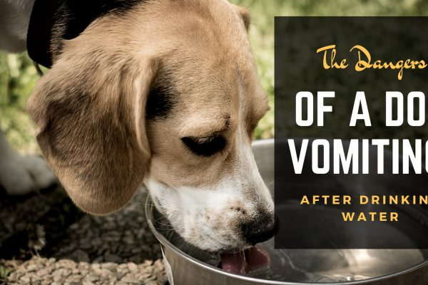 Dog Drinking Lots Of Water And Vomiting