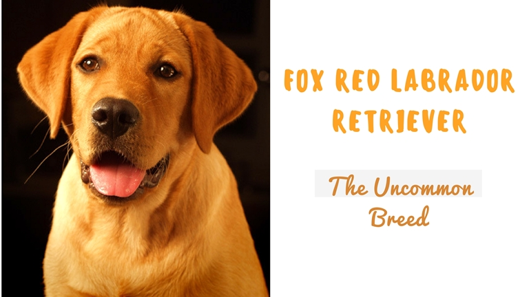 Fox Red Labs Labrador Retriever