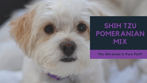 Shih Tzu Pomeranian Mix The Shiranian Is Pure Fluff 3 Million Dogs