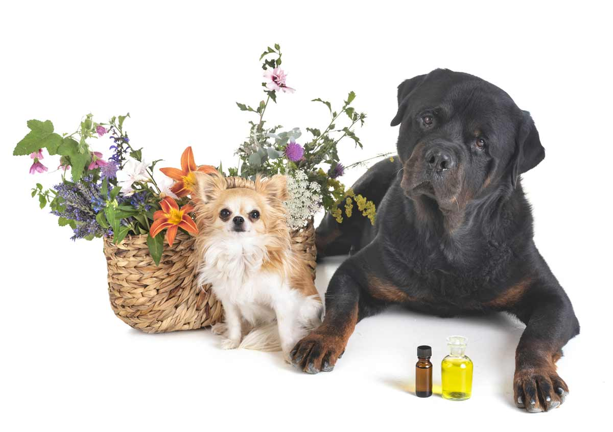 Essential-Oils-for-Dogs